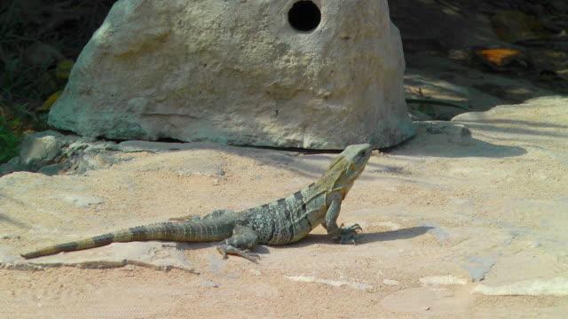 vídeos de stock e filmes b-roll de iguana sunbathing in tulum - apanhar sol
