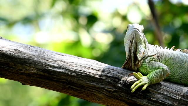 iguana - iguana stock videos & royalty-free footage