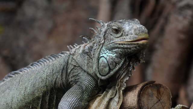 iguana - careless stock videos & royalty-free footage