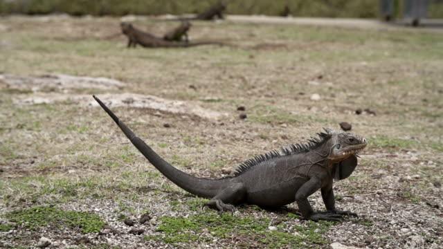 vídeos de stock e filmes b-roll de iguana - territórios ultramarinos franceses