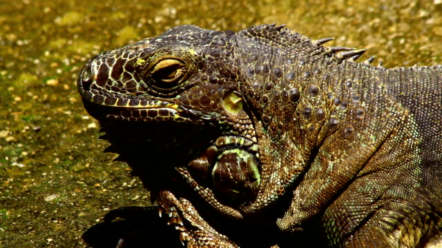 iguana - captive animals stock videos & royalty-free footage