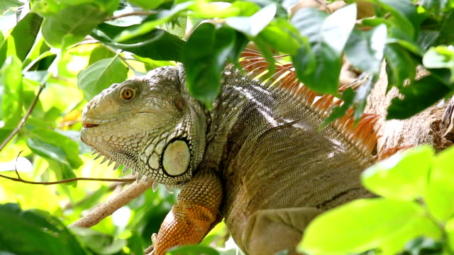 iguana - galapagos islands stock videos & royalty-free footage