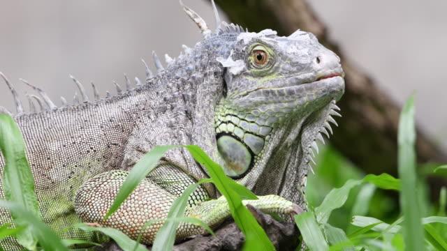 vídeos de stock, filmes e b-roll de iguana - área arborizada