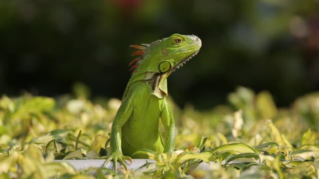 iguana watching - iguana stock videos & royalty-free footage