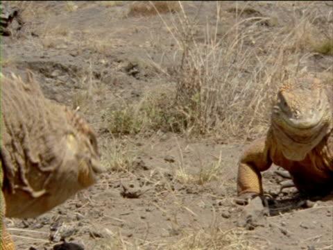 iguanas bob and posture as they challenge for combat. - ガラパゴスリクイグアナ点の映像素材/bロール