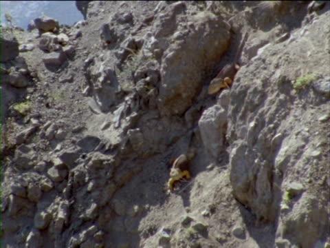 vídeos y material grabado en eventos de stock de iguanas clamber down a volcanic slope. - iguana de los galápagos