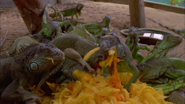 iguanas eating yellow leaves, thailand available in hd. - apparato digerente animale video stock e b–roll
