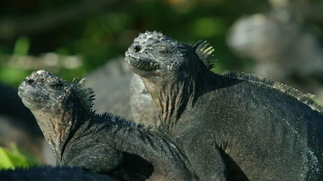 Iguanas in the Galapagos