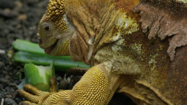 iguanas in the galapagos - iguana stock videos & royalty-free footage