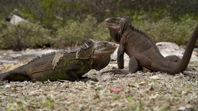 stockvideo's en b-roll-footage met iguanas on the beach - franse overzeese gebieden