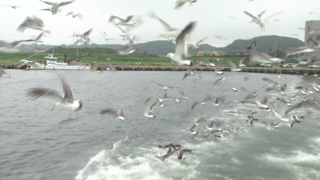 iioka fishing port and a flock of black-tailed gulls, chiba, japan - große tiergruppe stock-videos und b-roll-filmmaterial