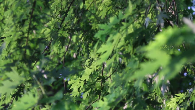 illinois maple leaves - haltbarkeit stock-videos und b-roll-filmmaterial