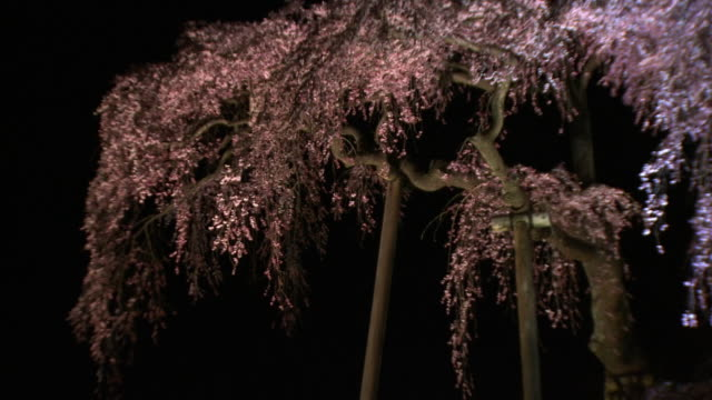 Illuminated Miharu Takizakura, Cherry Tree, Fukushima Japan
