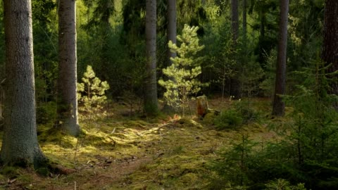 illuminated small pine trees in a fir forest in the spring in evening light - moos stock-videos und b-roll-filmmaterial