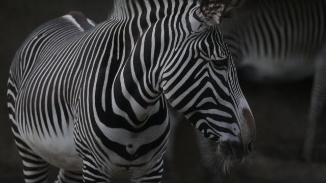 vídeos de stock e filmes b-roll de illustration image of animals in the zoological park on september 29 2020 in paris france the french minister of ecology has announced new government... - captive animals