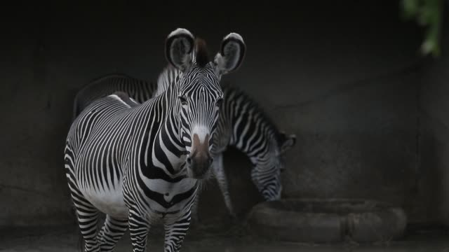 illustration image of animals in the zoological park on september 29, 2020 in paris, france. the french minister of ecology has announced new... - captive animals stock videos & royalty-free footage