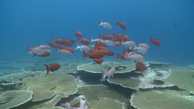 immaculate soldierfish (myripristis vittata) over table coral (acropora sp.), maamigili, south ari atoll, the maldives - ari atoll stock videos & royalty-free footage