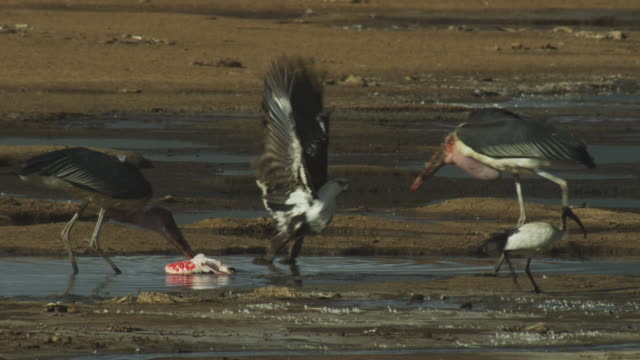 MS immature African Fish Eagle and Marabou storks squabble over flamingo carcase