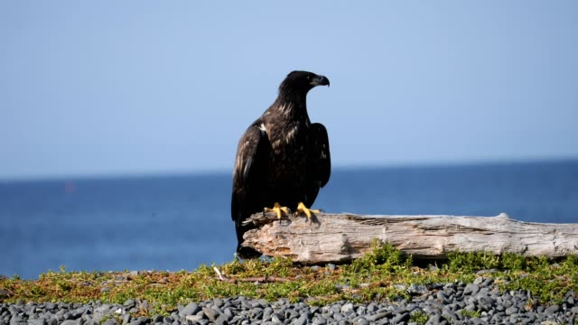 immature bald eagle - young animal stock videos & royalty-free footage