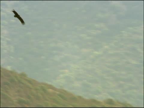 vidéos et rushes de immature black vulture (aegypius monachus) and red deer (cervus elaphus), autumn, sierra morena, andalusia, southern spain - vautour moine