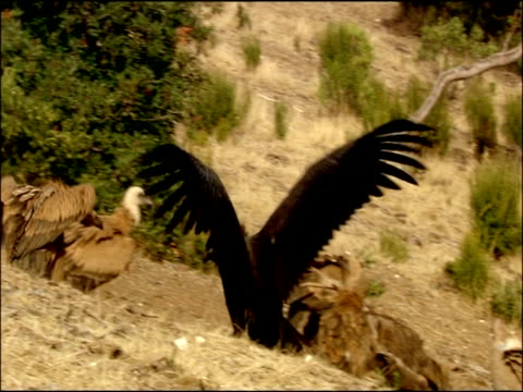 vidéos et rushes de immature black vulture (aegypius monachus) asserting himself to griffon vultures, autumn, sierra morena, andalusia, southern spain - vautour moine