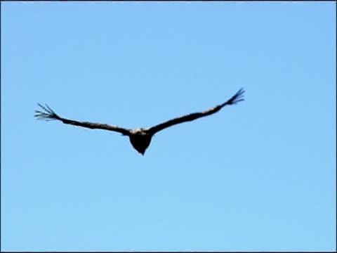 immature black vulture (aegypius monachus) flying against blue sky, autumn, sierra morena, andalusia, southern spain - gespreizte flügel stock-videos und b-roll-filmmaterial