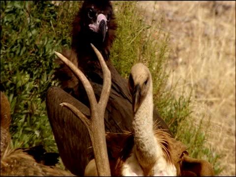 vidéos et rushes de immature black vulture (aegypius monachus) intimidated by griffon vultures, autumn, sierra morena, andalusia, southern spain - vautour moine
