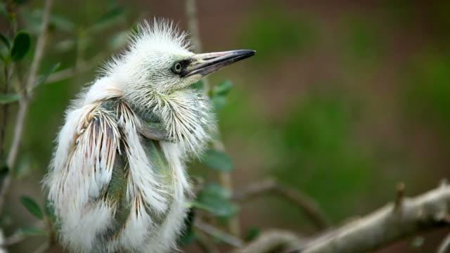 Immature Egret