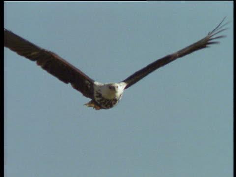 stockvideo's en b-roll-footage met immature fish eagle in flight towards and past camera, lake bogoria, kenya - african fish eagle