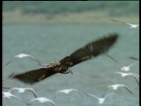 immature fish eagle swoops to chase flamingo, flamingo drops and eagle flies over, kenya - 空気力学点の映像素材/bロール