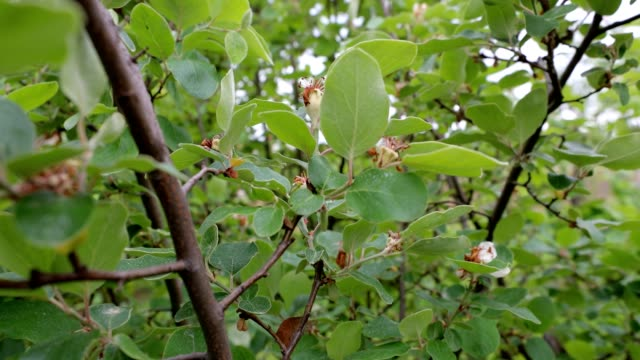 immature fruits at a quince tree - quince stock videos & royalty-free footage