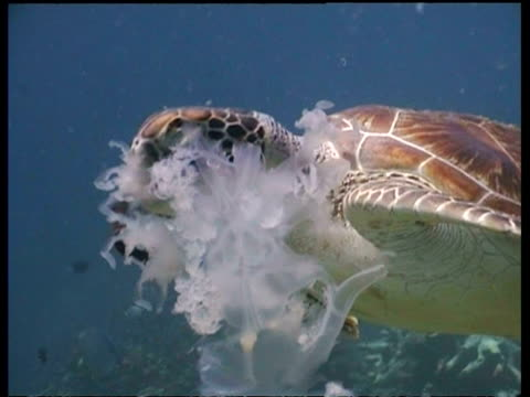 mcu immature green turtle feeding on jellyfish, gets spooked and swims off, surrounded by divers, borneo - qualle stock-videos und b-roll-filmmaterial