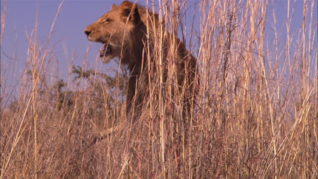 ms immature male african lion looks around and roars in long grass  - 歯をむく点の映像素材/bロール
