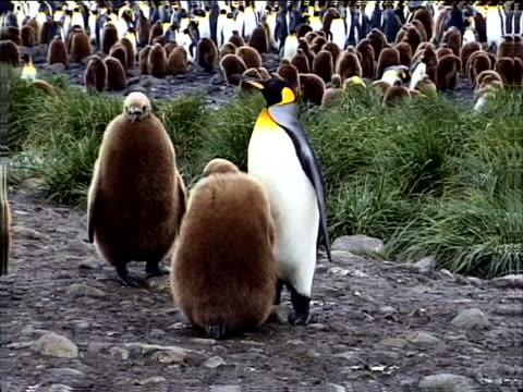 immature penguins begging - 雛鳥点の映像素材/bロール