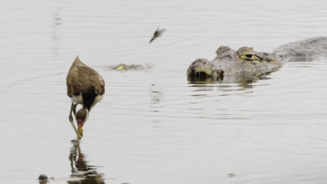 immature wattled jacana (jacana jacana) is startled as caiman (caiman yacare) tries to grab low flying hawk moth (aellopos species). - カイマン点の映像素材/bロール