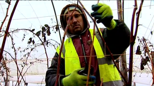 study finds eu migrants are not a drain on the economy t17011314 / england gloucestershire ext various of romanian immigrant workers pruning fruit... - pruning stock videos & royalty-free footage