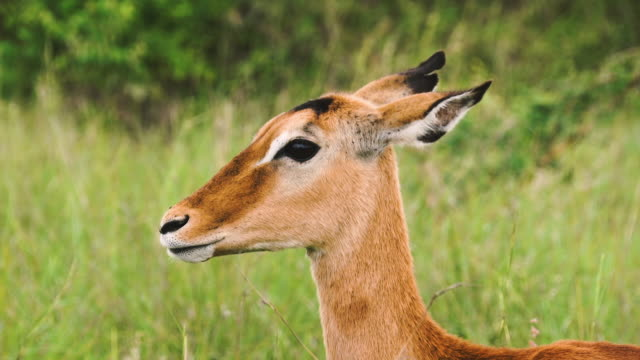 impala animal reel - roll x 4 shots - herbivorous stock videos & royalty-free footage