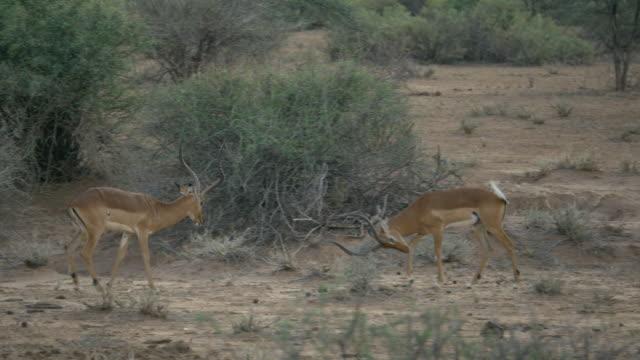 impala antelopes fighting in samburu national park, kenya - male animal stock videos & royalty-free footage