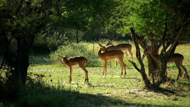 vídeos y material grabado en eventos de stock de impala antelopes - escapar