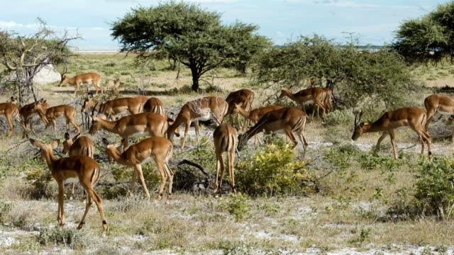 impala-antilopen wandern in savanne im etosha national park - antilope stock-videos und b-roll-filmmaterial