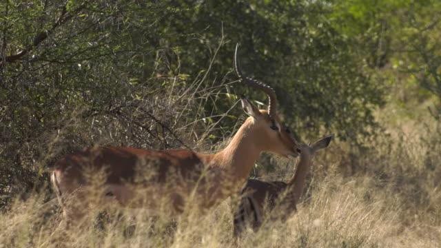 Impala Bachelor Herd