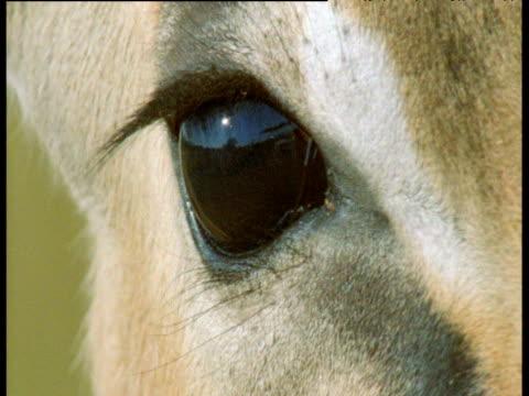 impala blinks as flies pester it, masai mara - blinking stock videos & royalty-free footage