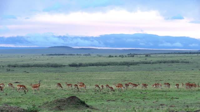 Impala gazelles in big landscape, Kenya