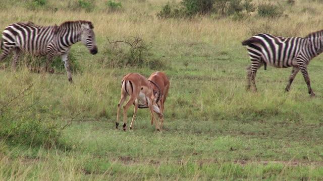 vídeos y material grabado en eventos de stock de impala gazelles, males in dominance dispute, kenya - cuatro animales