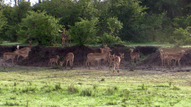 impala gazelles, young playing by running fast, in herd, kenya - mittelgroße tiergruppe stock-videos und b-roll-filmmaterial