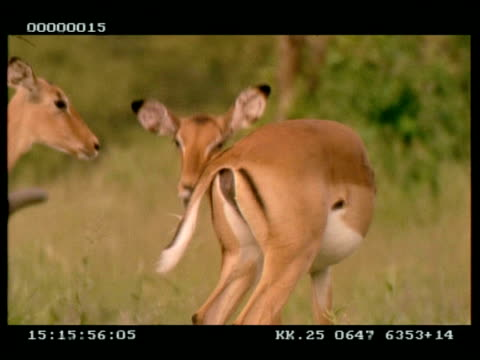 vidéos et rushes de ms impala (aepyceros melampus) grooming, inc tail, then scratches behind ear with hoof - se lisser les plumes