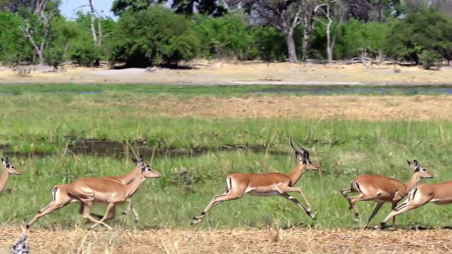 ms slo mo ts impala (aepyceros melampus) group running along khwai river at okavango delta / moremi reserve, africa, botswana - khwai river stock videos and b-roll footage