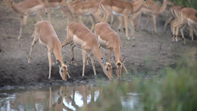 impala herd drinking water in alert mode - herbivorous stock videos & royalty-free footage