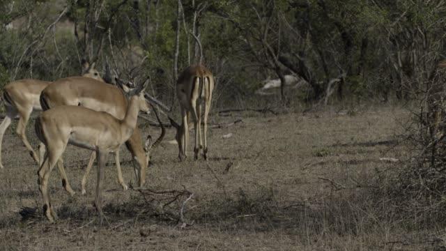 impala herd grazing in bushveld - grazing stock videos & royalty-free footage