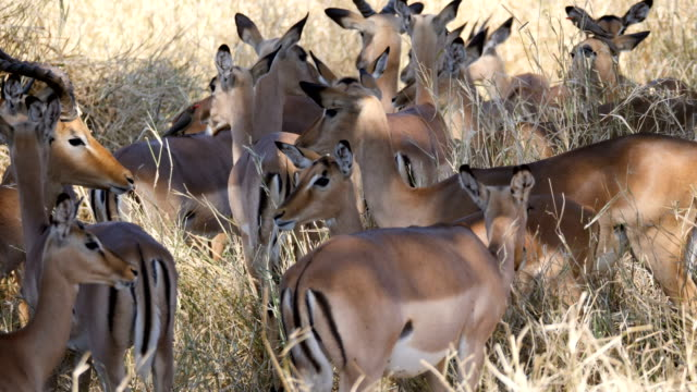 impala herd in the savanna, kruger national park - tiergruppe stock-videos und b-roll-filmmaterial